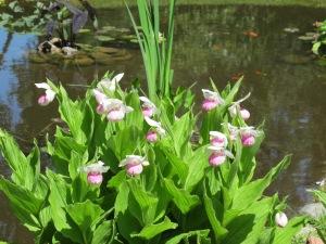 3.Ladyslipper.Pond
